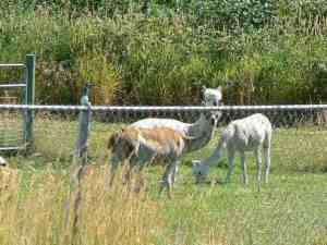 Alpacas on Burkhalter Road